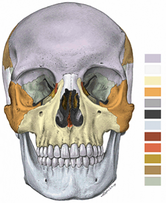 hueso maxilar: