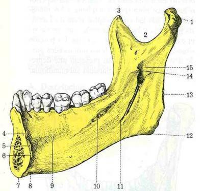 Maxilar Inferior (Rama ascendente)
