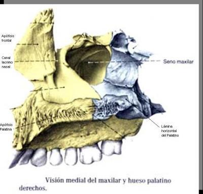 Maxilar Superior cara Medial